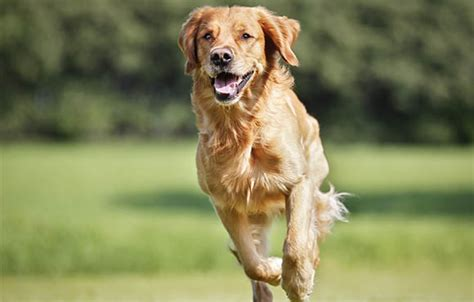 golden retriever puppy exercise exercise for dogs technopet