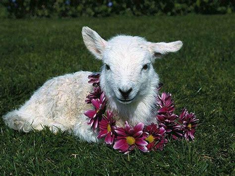 imagenes animadas de ovejas im 193 genes y fotos de animales oveja