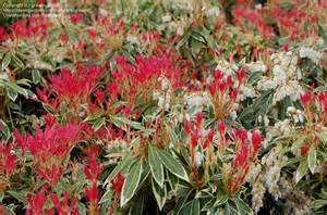 plantfiles pictures japanese pieris andromeda lily of the valley shrub flaming silver