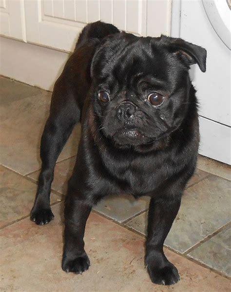 pug stud dogs proven stud kc reg black pug standing at stud carmarthen carmarthenshire