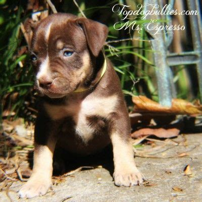 pitbull puppies for sale in dallas best 25 pitbull puppies for sale ideas on blue pits for sale baby