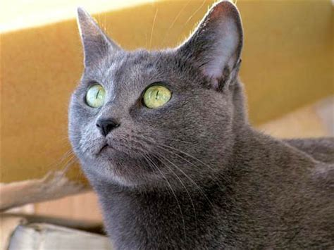 Blee Cat 2 russian blue cat profile beautiful of a lovely cat
