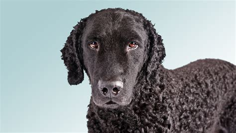 Curly Coated Retriever Club Of America Picture And Images