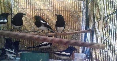 Harga Pakan Burung Lovebird Primus mau beli burung kacer berikut daftar harga kacer terbaru