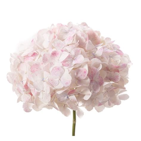 Flower Jumbo antique white hydrangea jumbo flower muse flower identification hydrangea