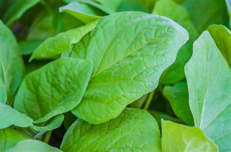 gambar tanaman hias daun bisa dibudidayakan