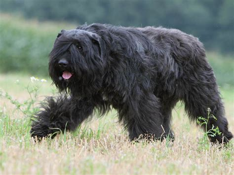 bouvier des flandres puppies photo chien bouvier des flandres 872 wamiz