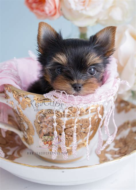 teacup yorkie clothes for sale adorable teacup yorkie puppies in south florida at teacups puppies teacups puppies