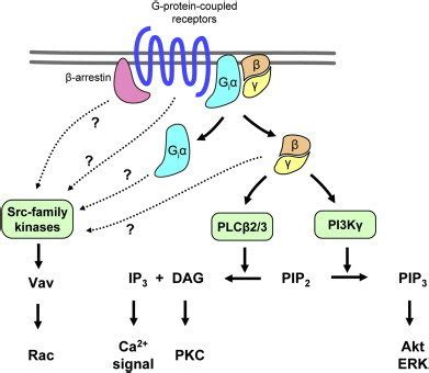 G-protein-coupled receptor signaling in neutrophils. G ... G Protein Coupled Receptors Pathway
