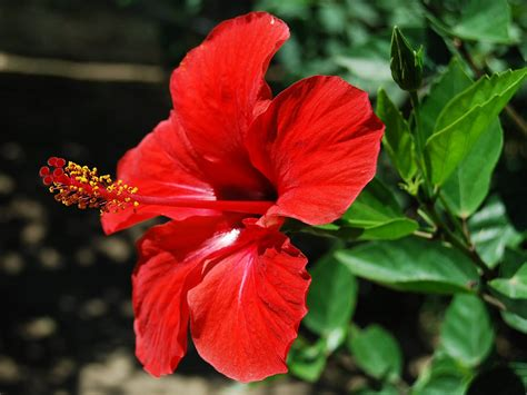 wallpapers hibiscus flowers wallpapers