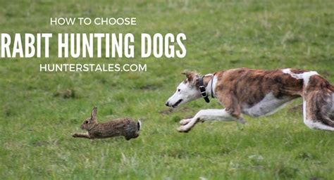 how to dogs to hunt how to choose the right dogs for rabbits