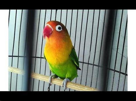 love bird rescue lovebirds singing bird ngekek kek 43