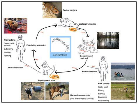 pathophysiology of leptospirosis diagram leptospirosis cycle diagram www pixshark