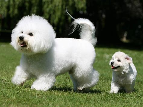 bichon puppies visit s yorkies website