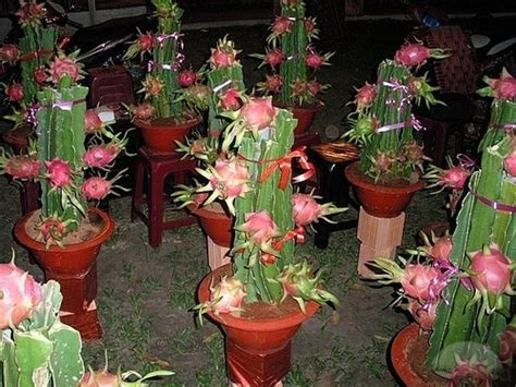 Tanaman Calanthoides Cactus Limited dwaft fruit seeds indoor plant 10 seeds ebay and indoor