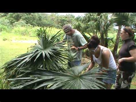 preparing  palm leaves   thatching  hale roof