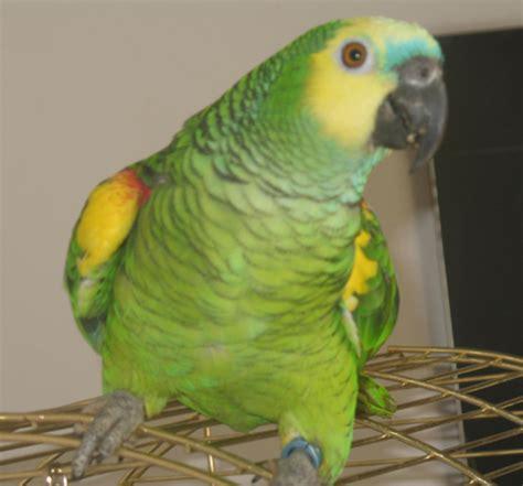 amazzone testa gialla vendita pappagallo amazzone fronte