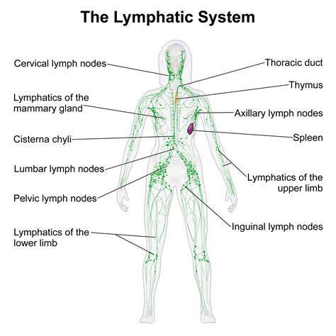 diagram of the neck lymphatic system diagram diagram site