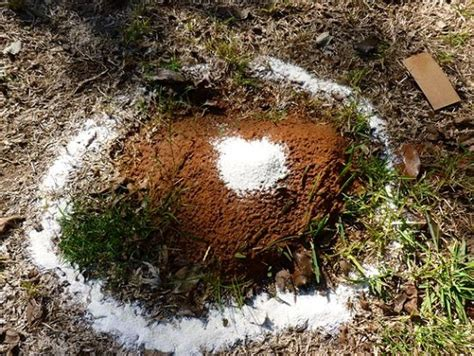 ants in backyard how to get rid of ant hills