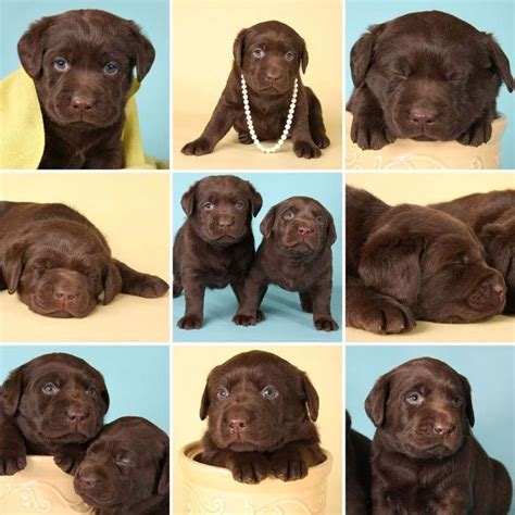 labrador names chocolate lab names sweet names for or