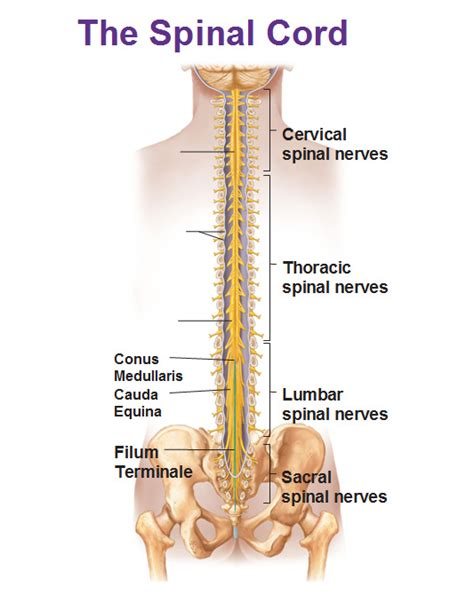 section filum terminale central nervous system spinal cord