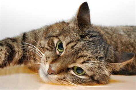 european shorthair cat information   thriftyfun