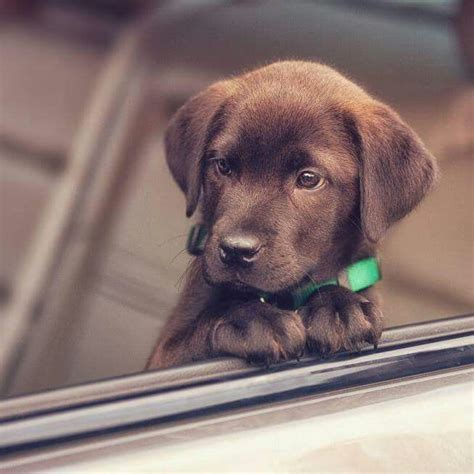 labs puppies 25 best ideas about chocolate labs on chocolate labrador