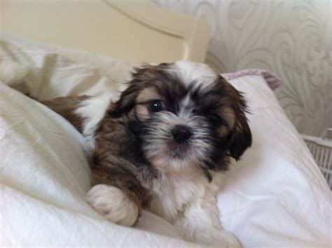 shih tzu cross chihuahua puppies shih tzu cross chihuahua bromley kent pets4homes