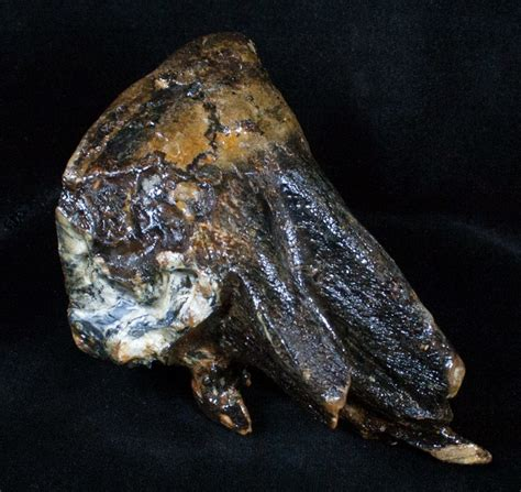 fishing for fossils in the north sea the lost world of doggerland juvenile mammoth molar from north sea for sale 3359