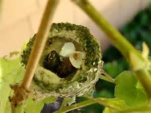 rare footage allen s hummingbird eggs hatching june 12