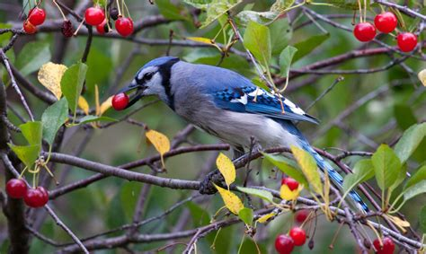 blue jay eating cherries from russ s tree laura