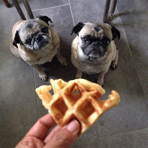 pugs care ljcfyi waffle tip