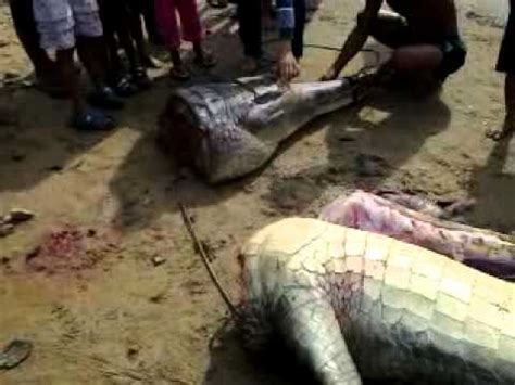 film ular raksasa buaya putih di sungai katingan kab katingan kasongan
