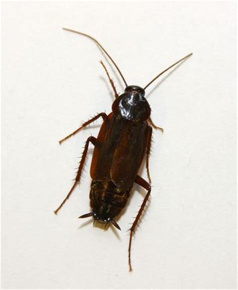 scarafaggi volanti in casa disinfestazione scarafaggi blatte roma