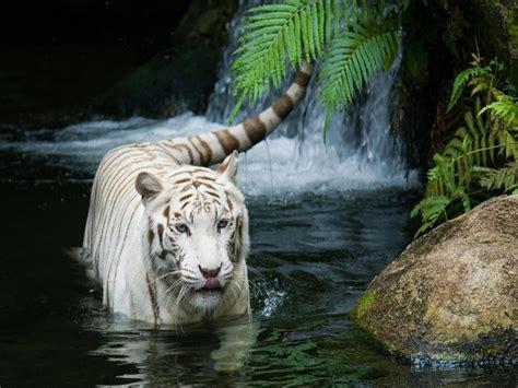 imagenes tumblr de tigres imagenes de tigres para fondos de pantalla taringa