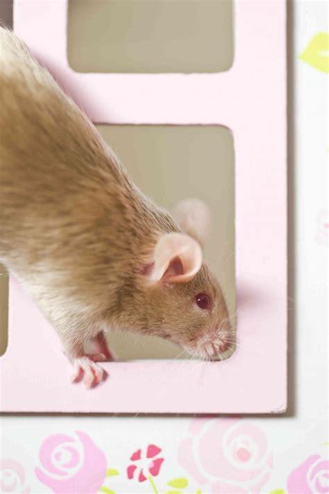 come eliminare topi in casa come eliminare i topi donnad