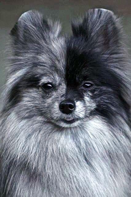 brown merle pomeranian 25 b 228 sta hundraser id 233 erna p 229 husdjur hundar och valpar