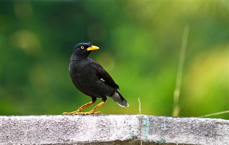 mynah pet birds info article and pictures pet yak
