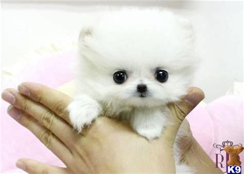 how big is a teacup pomeranian 17 best images about puppies on tiny puppies i want and spaniels