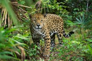 Jaguars In Rainforest Big Cat Jaguar Panthera Onca In Rainforest Jungle