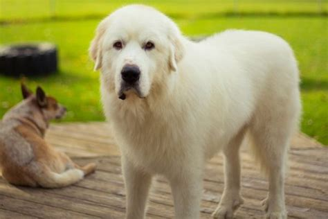 how can a puppy be left alone great pyrenees breed remarkable dogs breeds picture