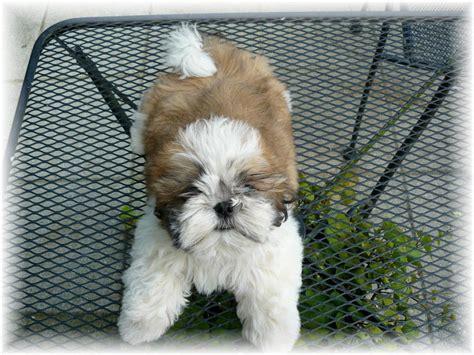 shih tzu ga ga shih tzu shih tzu puppies for sale in fl al tn sc nc atl jax birm talla