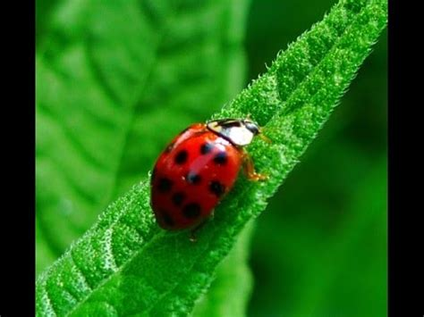 how to get rid of ladybugs in the house prepper tips how to get rid of ladybugs youtube