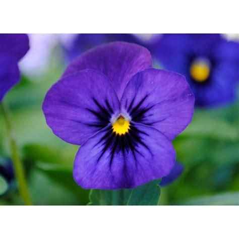 pianta con fiore viola pianta di viola a fiore piccolo sorbet xp blue blotch imp