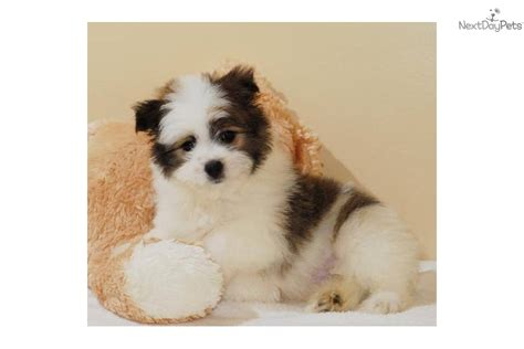maltipom puppies malti pom maltipom puppy for sale near columbus ohio 2ca3e9a1 63b1