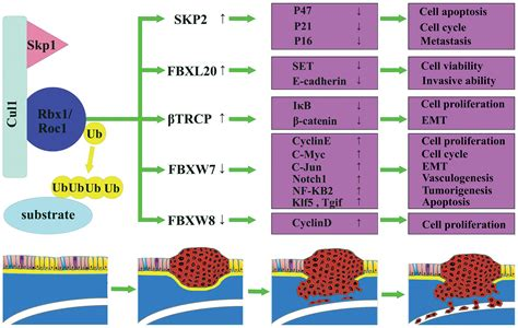 f box protein fbxw7 new insights into the mechanism of f box proteins in