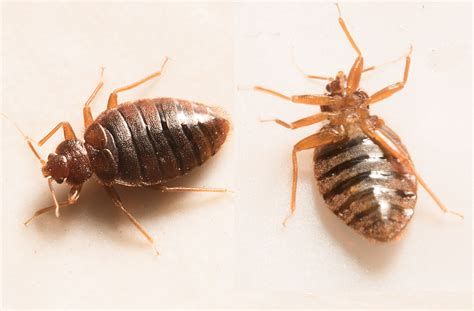 what are bed bugs attracted to the 1 terrifying way you re increasing your odds of