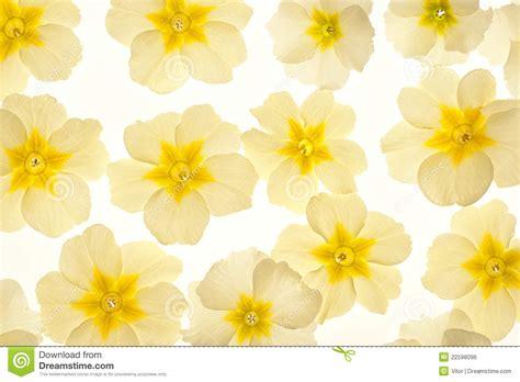 primrose royalty free stock image image 22598096
