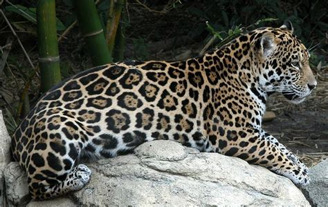 imagenes jaguares selva im 193 genes de animales de la selva