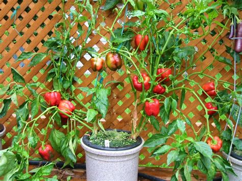 hydroponic container gardening container gardening heirloom tomatoes hydroponic